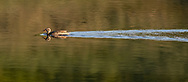 Female green-winged teal makes a distinctive wake on a pool in a stream, Yellowstone National Park, © 2019 David A. Ponton