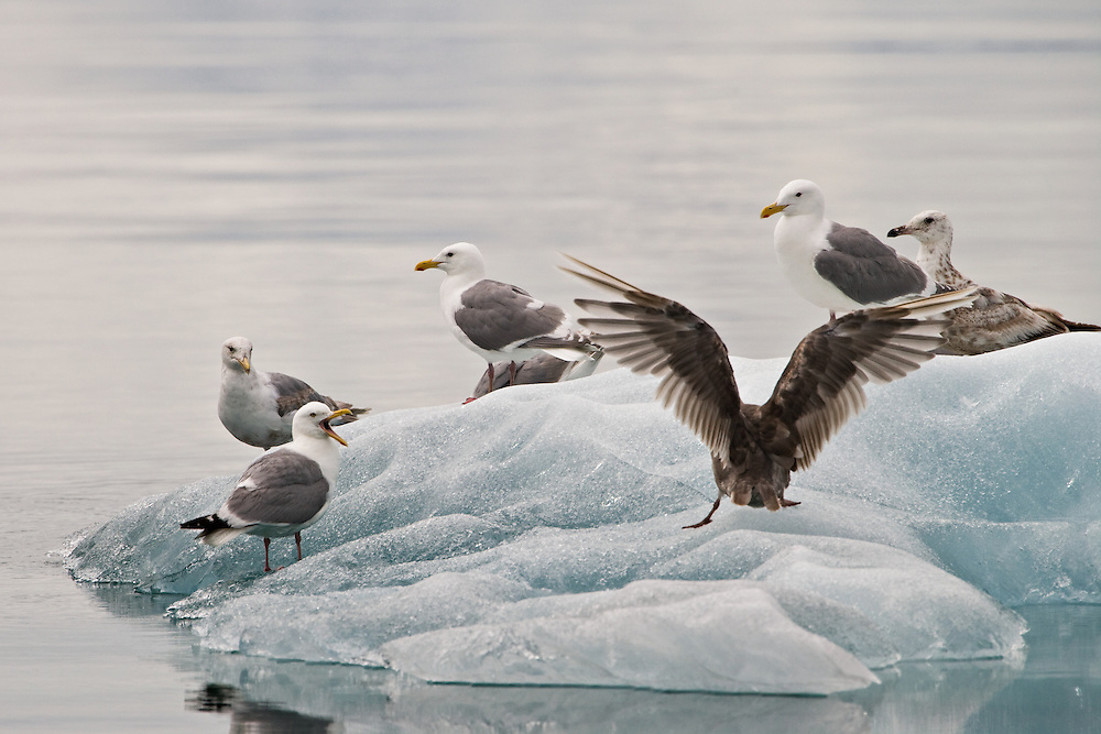 Herring Gulls (Larus argentatus) on iceberg in Endicott Arm of the Inside Passage. Southeast. Summer. Afternoon.