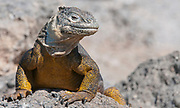 Galapagos land iguana (Conolophus subcristatus) from the island of South Plaza.