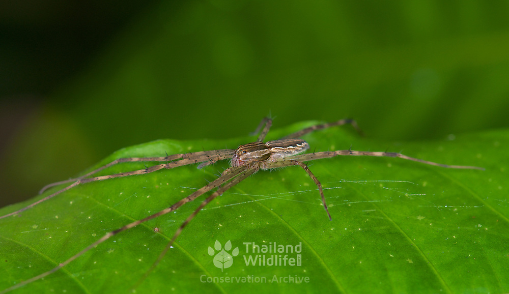 An unknown Wolf Spider of the Family Lycosidae.