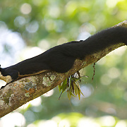 The black giant squirrel (or Malayan giant squirrel) (Ratufa bicolor) in Khao Yai National Park, Thailand.