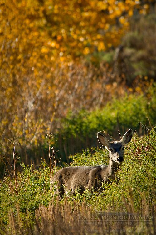 Mule Deer (Odocoileus hemionus) Mineral King, Sequoia National Park, California