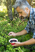 Michael Durham picks wild huckleberries  on the slopes of Mount Adams in the Gifford-Pinchot National Forest, Washington.