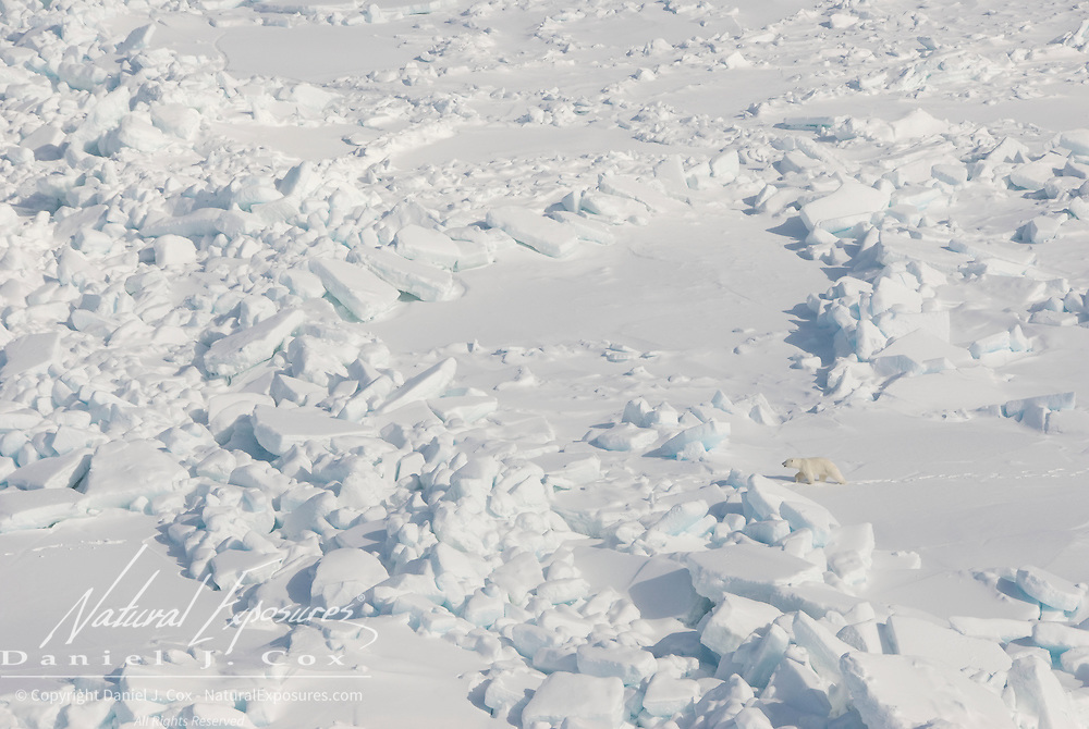 A polar bear (Ursus Maitimus) makes its way over the rugged ice of the Beaufort Sea in Kaktovik, Alaska.
