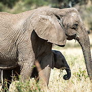 A young elephant stays close by its mother at Tarangire National Park in northern Tanzania not far from Ngorongoro Crater and the Serengeti.
