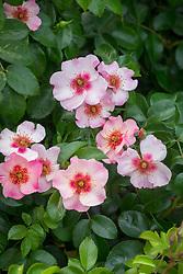 Rosa 'Bright as a Button' syn. 'Chewsumsigns' AGM