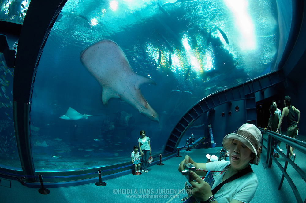 "JPN, Japan: Okinawa Churaumi Aquarium, Besucher im ""Aqua room"", ein Walhai (Rhincodon typus), der groesste Fisch der Welt, schwimmt vorbei, Ocean Expa Park, Okinawa, Okinawa | JPN, Japan: Okinawa Churaumi Aquarium, visitors in the ""Aqua room"", Whale Shark (Rhincodon typus), the largest fish of the world, passing, Ocean Expo Park, Okinawa, Okinawa |"