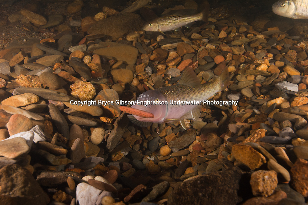 River Chub<br />