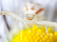 Goldenrod Crab Spider (Misumena vatia) on fleabane flower, 5x lifesize in camera. Eight image focus stack