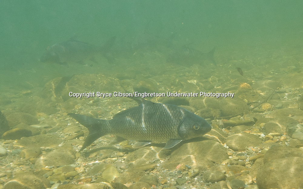 Quillback<br /> <br /> Bryce Gibson/Engbretson Underwater Photography