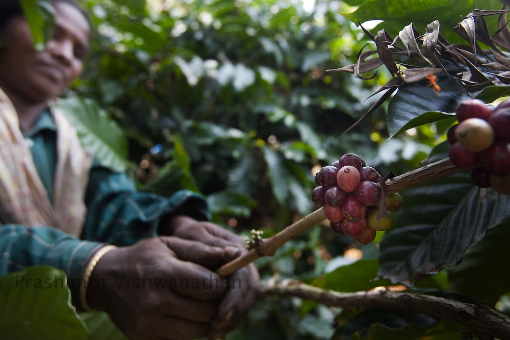 A labourer picks coffee berries at a farm in Coorg, India, on Saturday January 30, 2010. Photographer: Prashanth Vishwanathan/Bloomberg News