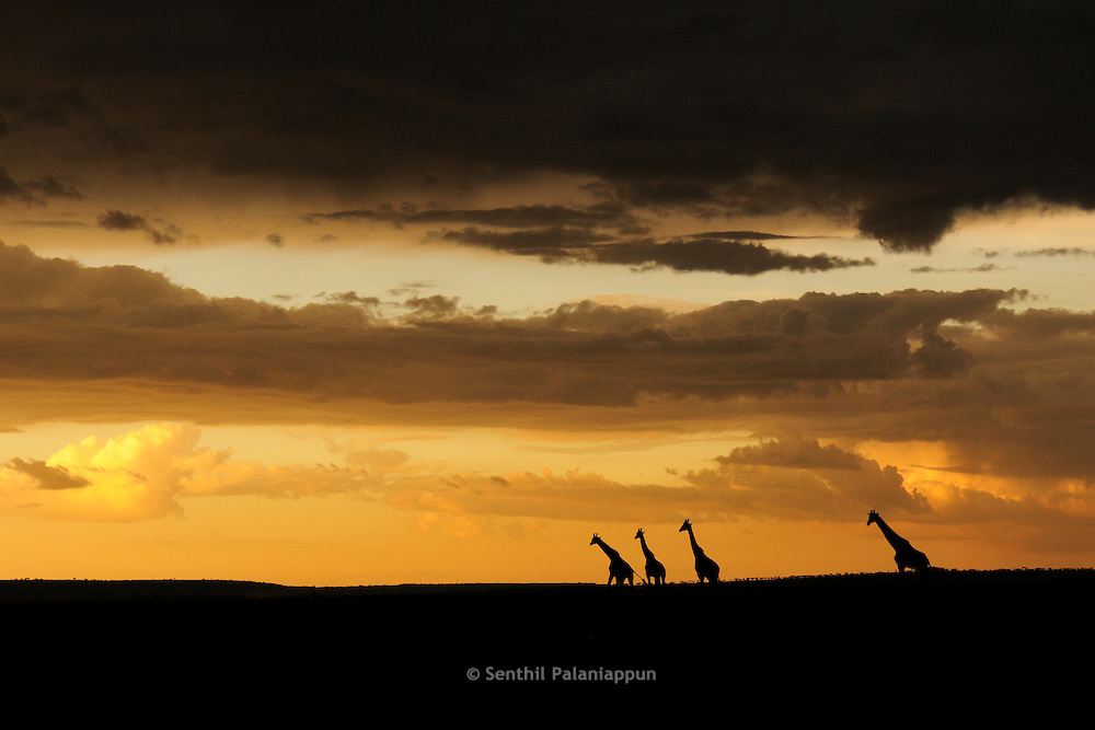 Family of giraffes walking at sunset, Masai Mara, Kenya