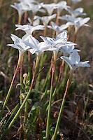 Rain Lily (Cooperia pedunculata), Travis County, Texas