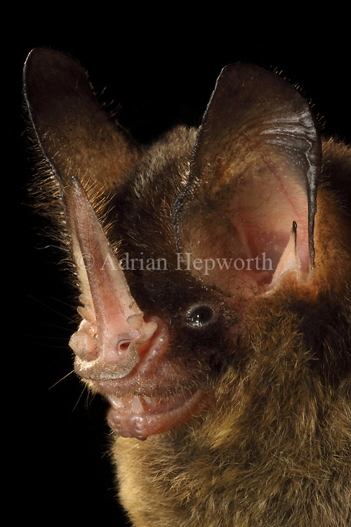 Striped Hairy-nosed Bat (Mimon crenulatum), La Selva Biological Station, Costa Rica. <br />