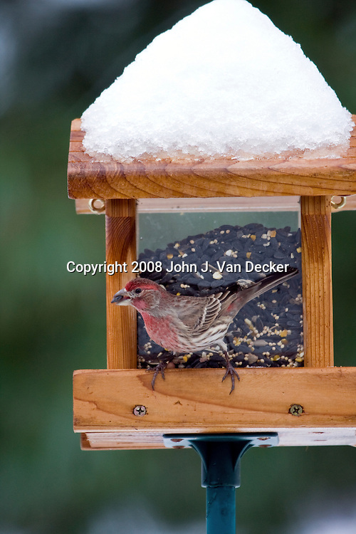 House Finch eating seed at a bird feeder