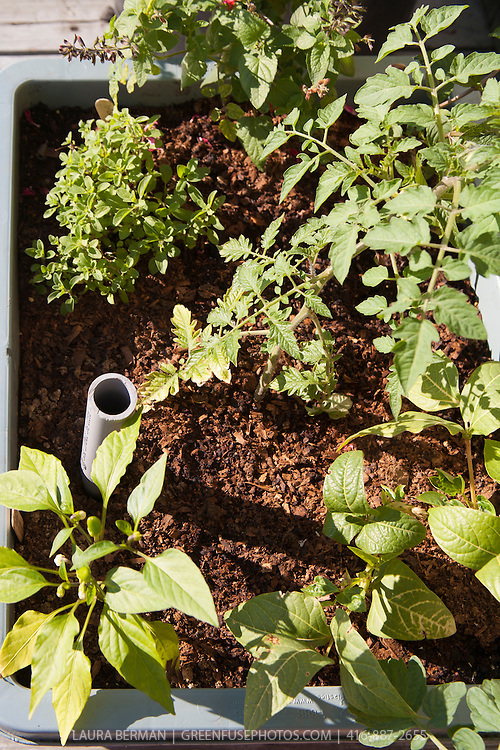 Self-watering sub-irrigation container garden.