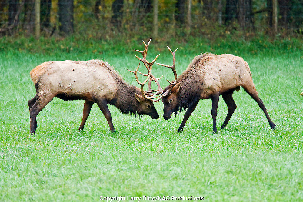 Elk (Cervus elaphus) bulls fighting in meadow, reintroducted herd, Ozark Mountains, Boxley,Arakansas, November