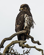 The Bald Eagle sat on a branch gazing out across the marsh.  It stayed on the branch for several hours allowing people to study it carefully.  Its powerful beak and tallons were obvious.