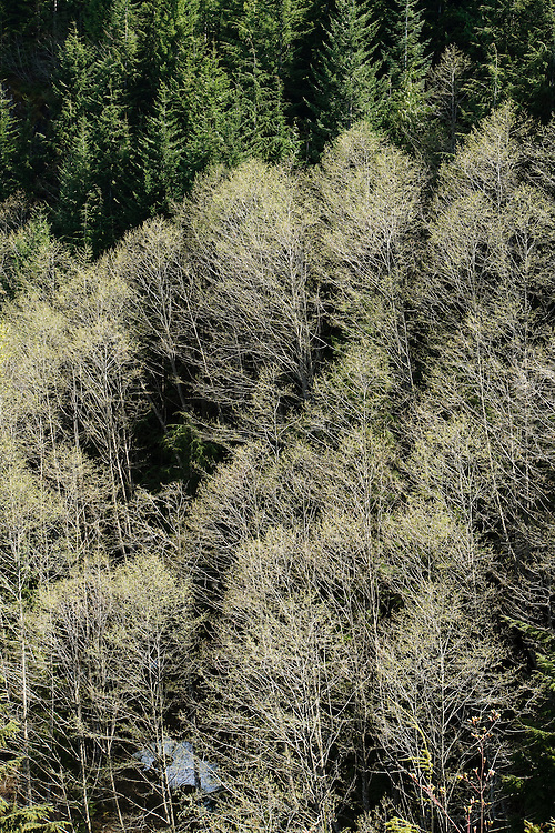 A view looking down ata stand of Red Cedar trees on a mountainside, Cascade Mountains, Washington, USA.