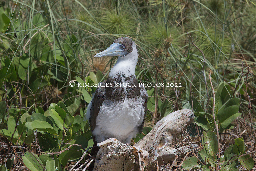 A juvenile Brown booby (Sula leucogaster) sits amongst foliage near the dunes at Adele Island on the Kimberley coast.
