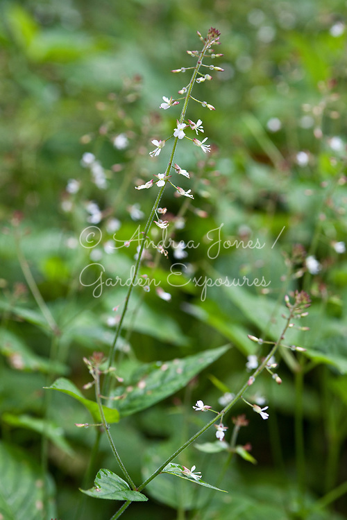 Circaea lutetiana (enchanter's nightshade)<br /> <br /> Teasses Estate, Ceres, Fife