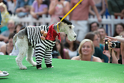© Licensed to London News Pictures. 26/08/2013. London, UK. A dog dressed in French costume participates in the Paw Pageant 2013 held at Old Spitalfields Market in East London. Dogs wear designer fashion in a canine fashion show to raise money for Battersea Dogs and Cats home. Photo credit : Vickie Flores/LNP