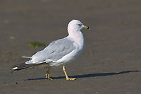 Ring-billed Gull (Larus delawarensis) on beach at Comox   Photo: Peter Llewellyn