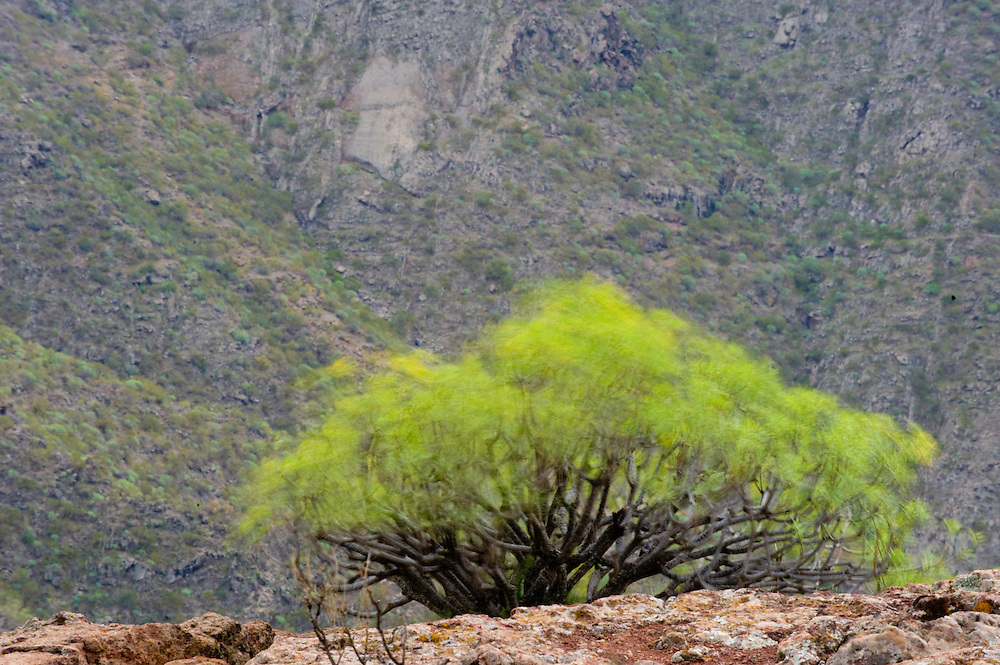 Tabaiba amarga (Euphorbia lamarkii) moved by the wind in the Masca Valley, West Tenerife Island, Canary Islands. Spain.