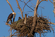 An adult bald eagle (Haliaeetus leucocephalus) calls to its chick on their nest near Puyallup, Washington. The size of the nest dwarfs both of the birds. Bald eagle nests rank as the largest nests of any bird, with a typical diameter of six feet (2 meters) and a height of three feet (1.5 meters). Some bald eagle nests way more than two tons.