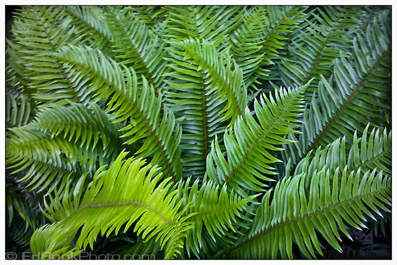 sword ferns (Polystichum munitum)