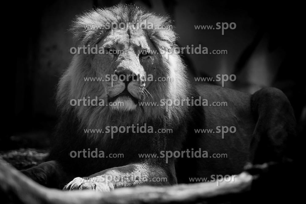 20.04.2011, Wien, AUT, Feature, im Bild Löwe im Tierpark von Schloss Schönbrunn, EXPA Pictures © 2011, PhotoCredit: EXPA/ Erwin Scheriau