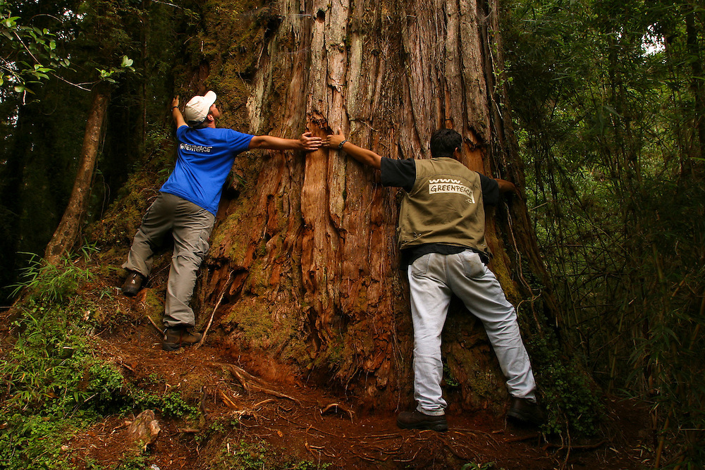 Greenpeace staff members stretch their arms around the base of a Alerce tree in Parque Pumalin, Chile, Feb. 12, 2004.  zDaniel Beltra/Greenpeace.