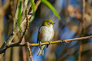 Waxeye, Southland, New Zealand