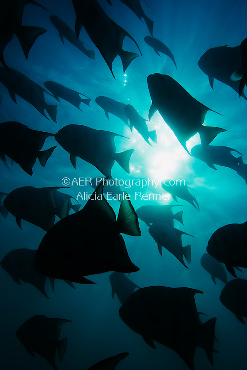 Spadefish shadows
