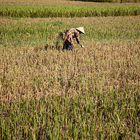 An elderly village woman plucks errant stalks of rice that were missed during the rice harvest outside of Thủy Phư commune near Phu Bai village.