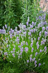 Lavandula angustifolia Miss Muffet = 'Scholmis'. AGM<br /> English lavender