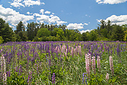 A Maine landscape dotted with Purple and pink Lupines somewhere on the way to New Hampshire
