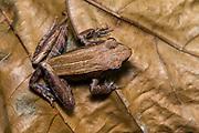 Mantidactylus aerumnalis from Andasibe NP, eastern Madagascar.