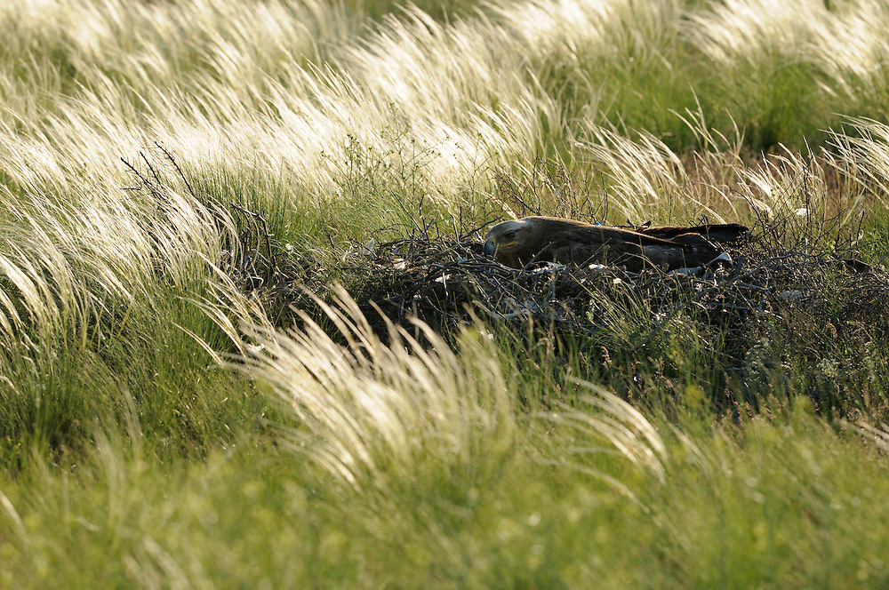Mission:  Saiga.Steppe eagle (Aquila nipalensis) on its nest, Cherniye Zemly (Black Earth) Nature Reserve, Kalmykia, Russia, May 2009.Aquila rapax