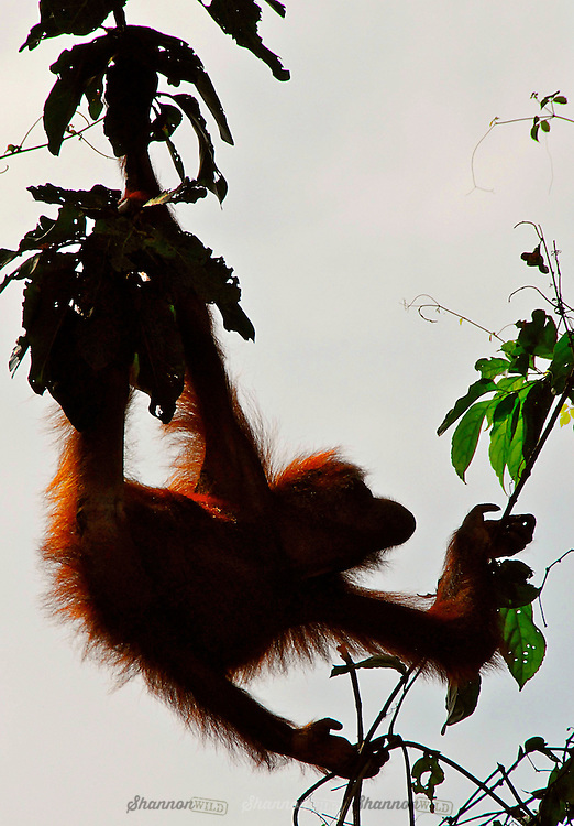 A young wild Orangutan (Pongo pygmaeus) grazes on vines in Sandakan against a dusk sky. Borneo, Malaysia.  The Bornean species are listed as Endangered according to the IUCN Red List of mammals, while the Sumatran species is critically endangered