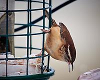 Carolina Wren at a bird feeder. Image taken with a Nikon D5 camera and 600 mm f/4 VR lens (ISO 400, 600 mm, f/4, 1/640 sec).