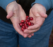 cranberries,farming,bogs,