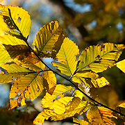 American Beech leaves in fall color