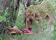 A lioness with a newly killed topi antelope in Maasai Mara, Kenya.