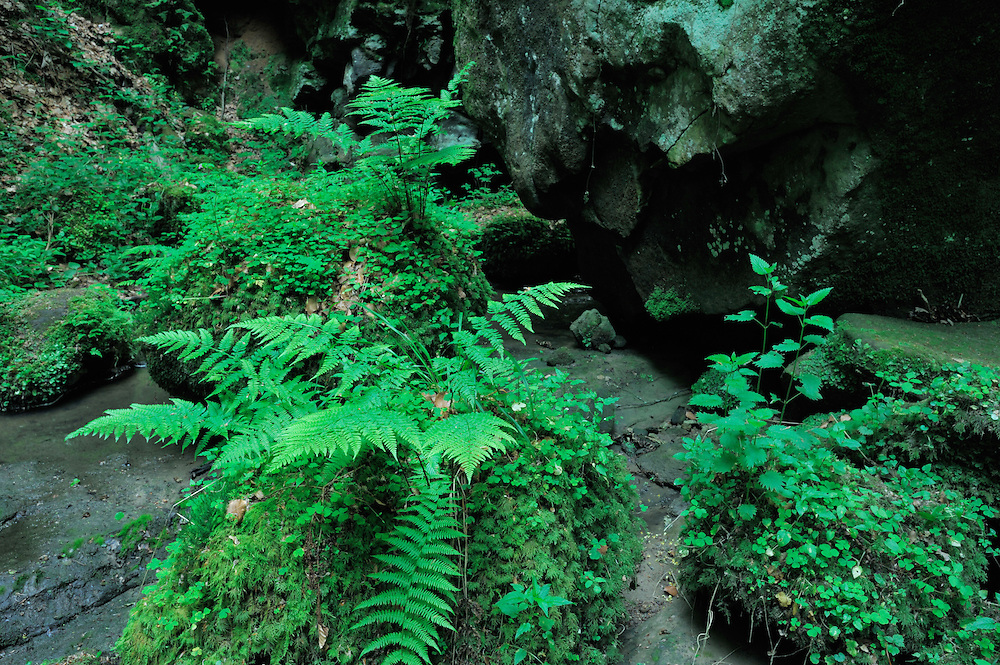 (Dryopteris filix-mas) Common Male Fern near the Chipkapass, Mullerthal trail, Mullerthal, Luxembourg