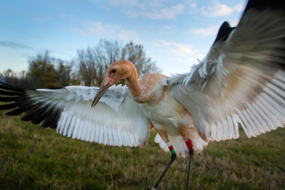 A juvenile Whooping Crane jumps up on an early morning walk.