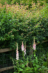 Foxgloves and borage growing along the base of a hedge. Digitalis 'Sutton's Apricot', Borago officinalis