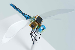 March 7, 2017 - Boston, Massachusetts, U.S. - Dragonflies are being turned into radio controlled drones by scientists.The Dragonfleye project sees the insects fitted with a tiny backpack of electronic components that allow the researchers to communicate with the insects. The study could help honeybees one day pollinate plants.The dragonflies have had their neurons genetically modified so that they are more sensitive to light, allowing them to be controlled using measured light pulses.The project is a collaboration between the Charles Stark Draper Laboratory research centre in Boston, Massachusetts and the Howard Hughes Medical Institute in Maryland. (Credit Image: © Ferrari/Visual via ZUMA Press)