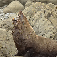 A New Zealand Fur Seal outside of Kaikoura, New Zealand.
