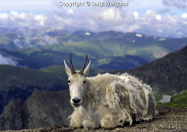 Mountain goat shedding fur coat; resting at edge; valley below; wildlife, Oreamnos americanus; Mt. Evans; CO